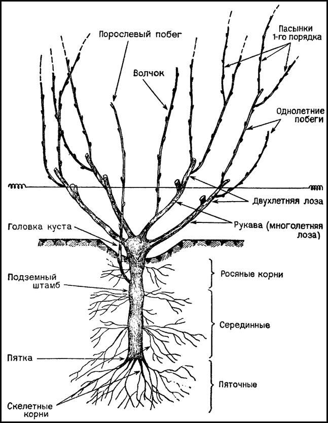 Схема строения виноградного